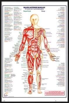 Uokvireni plakat Human Body - Major Anterior Muscles